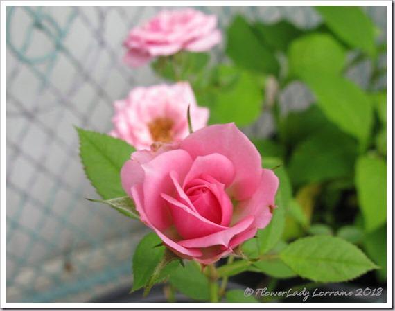 05-21-mini-roses