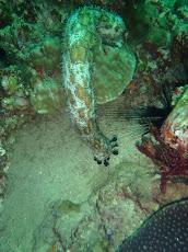 Sea Cucumber at Ko Ha, near Ko Lanta, Thailand