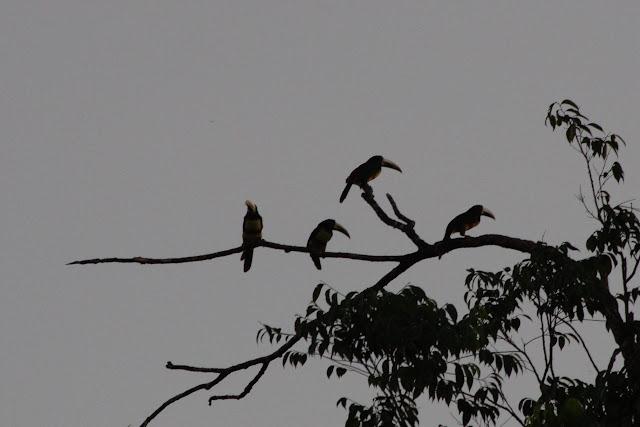Rassemblement de toucans ariel (Ramphastos vitellinus). Pointe Maripa (Riv. Comté), 9 novembre 2012. Photo : J.-M. Gayman