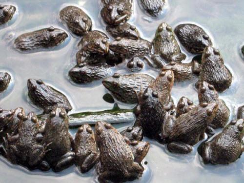 Kỹ thuật nuôi công nghiệp ếch Thái Lan - 57072d687f381
