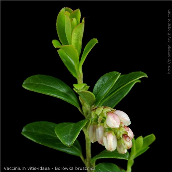 Vaccinium vitis-idaea flower bud- Borówka brusznica pąki kwiatowe