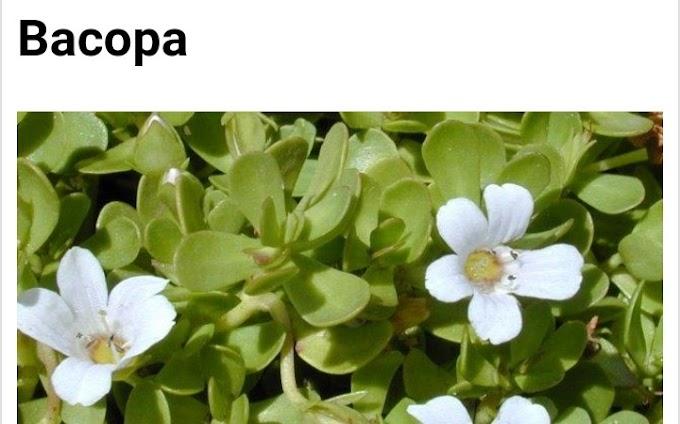 Botanical name of Bacopa and its medicinal uses