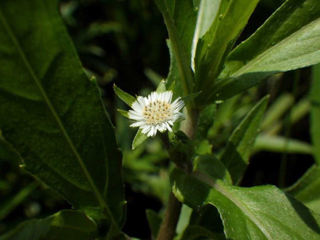 アメリカタカサブロウの花