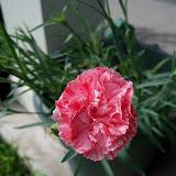 Gardening 2012 - 115_1600.JPG