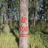 eucaliptus - 006.JPG