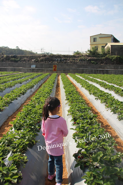 Tiger girl deciding on where to pluck the strawberries from