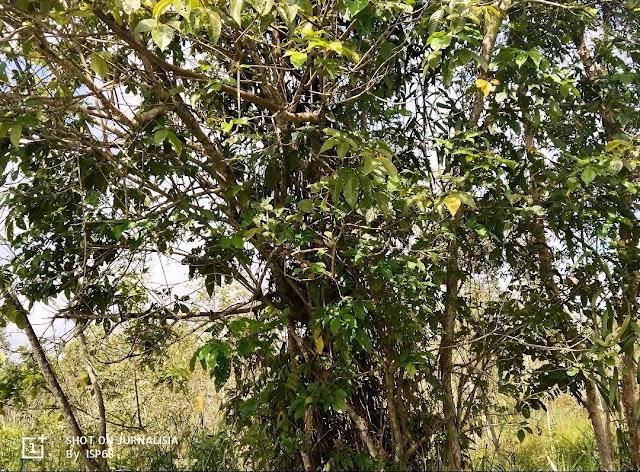 Pohon Halaban, Bahan Baku Pembuatan Kayu Arang