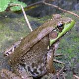 Green Frog