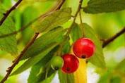 maanpaat buah ceri untuk kesehatan tubuh kita