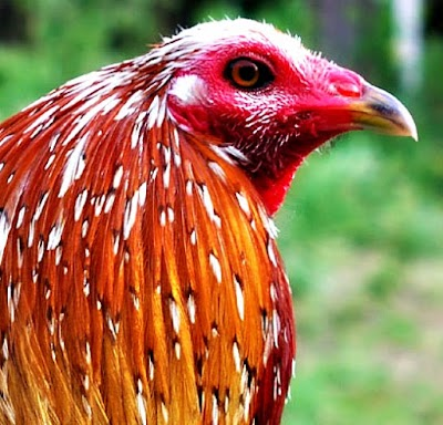 Spangled-Cock-Head-2.jpg