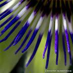 Blaue Passionsblume (Passiflora caerulea)