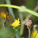 Lasiommata megera (L., 1767), femelle. Bages (Pyr. orientales), 17 août 2013. Photo : J.-M. Gayman