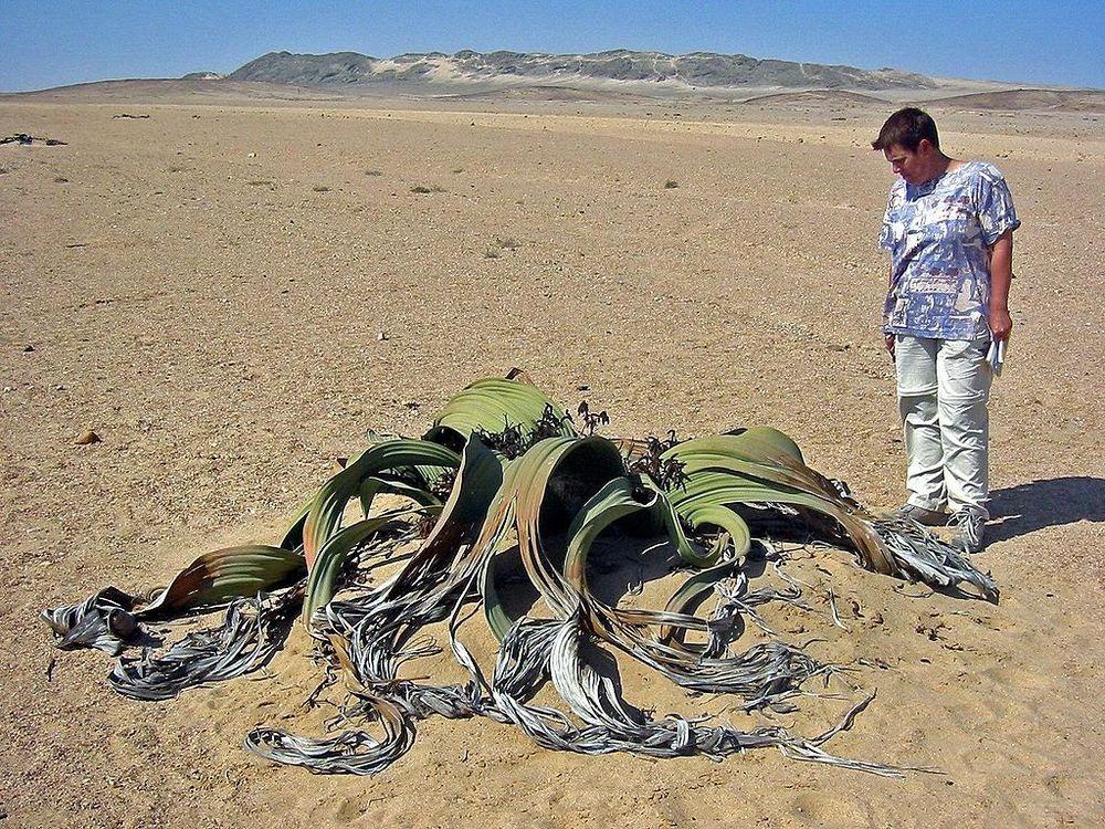 welwitschia-mirablilis-3