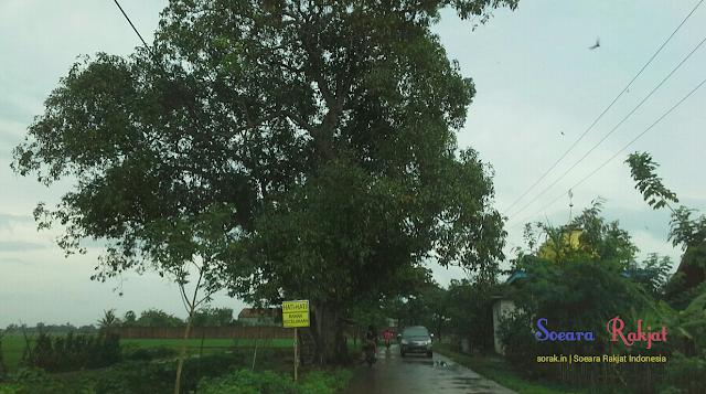 Mitos pohon rengas yang angker