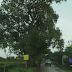 Sering Terjadi Kecelakaan Tragis, Bukti Keangkeran Pohon Rengas Tua Desa Muara yang Mistis?