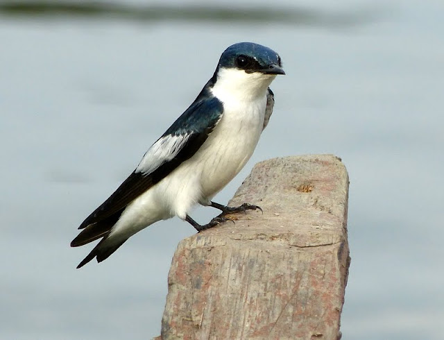 White-winged swallow (Tachycineta...