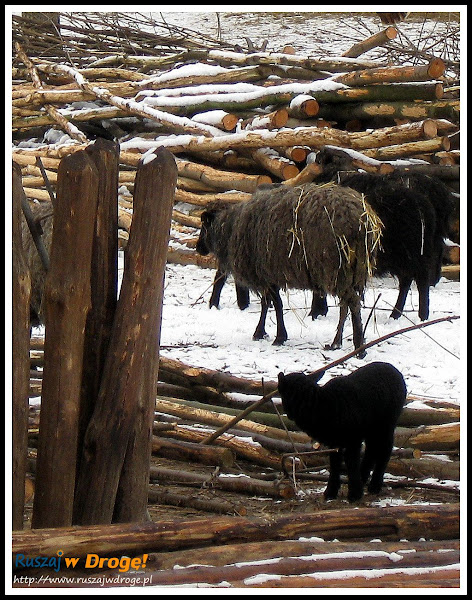 hodowla owiec w Biskupinie