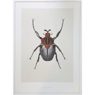 Hagedornhagen Framed Goliathus Cacicus Print