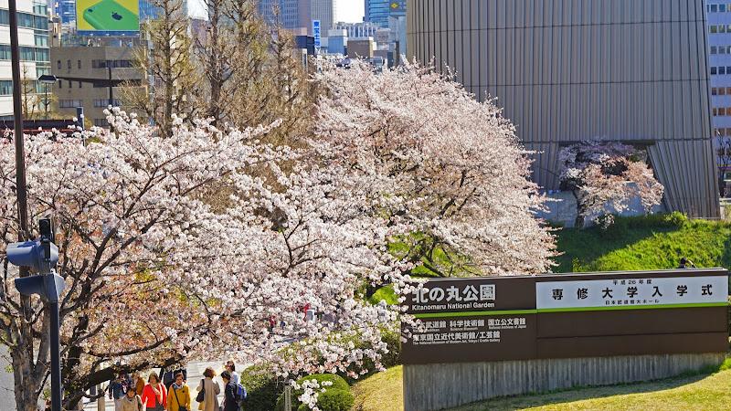 千鳥ヶ淵 桜 写真8