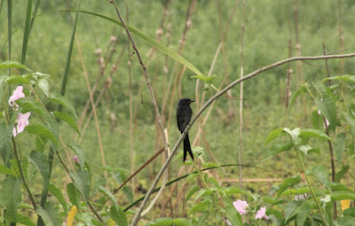 Black Drongo, 22-Oct-2016 (Pic: Madhurima Das)