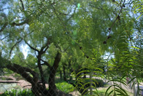 Honey Mesquite