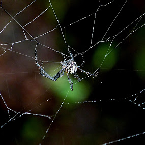 Spider in its web by Vaibhav Shende - Animals Insects & Spiders ( macro, spider in the wild, web, spider, spider web,  )