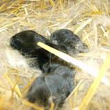 Kleintierzüchter Giesingen