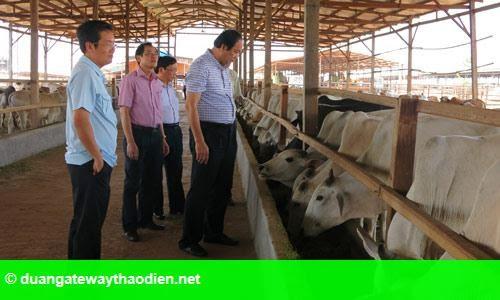 Hình 1: Bí thư tỉnh ủy quyết nuôi bò