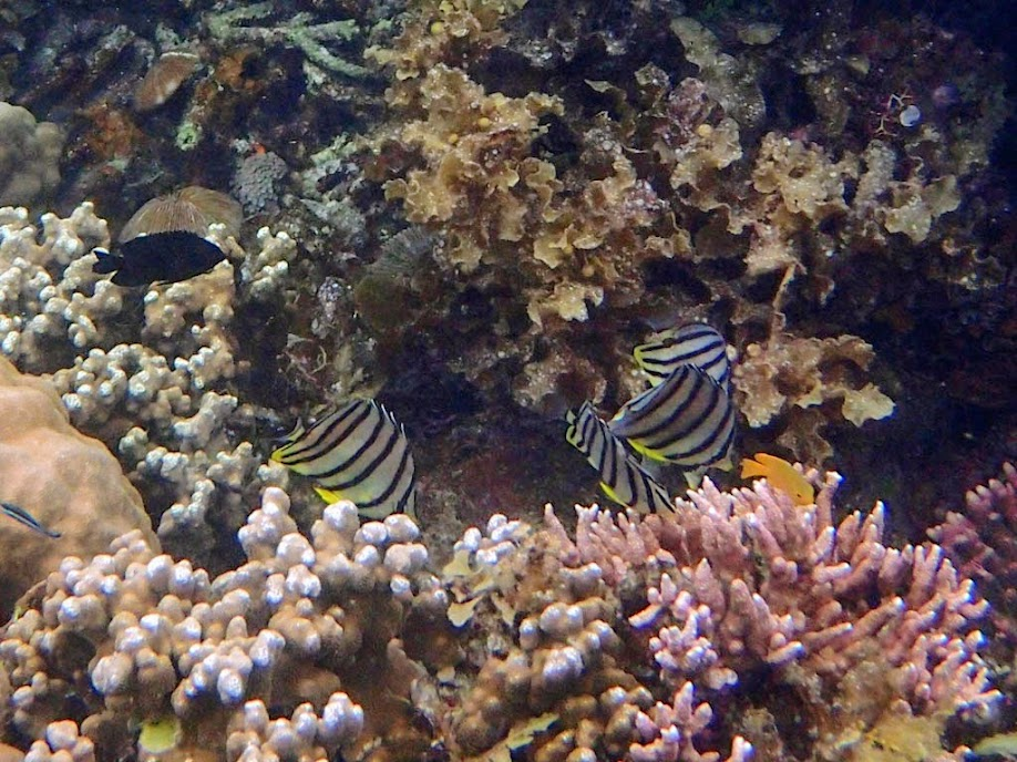 Chaetodon octofasciatus (Eight-banded Butterflyfish), Sand Island, Palawan, Philippines.