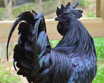 cemani-chickens black-03