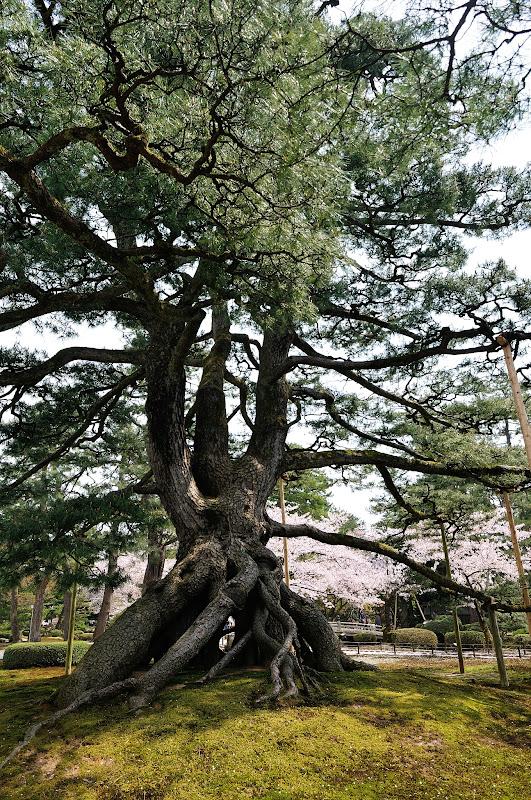 juuripuu