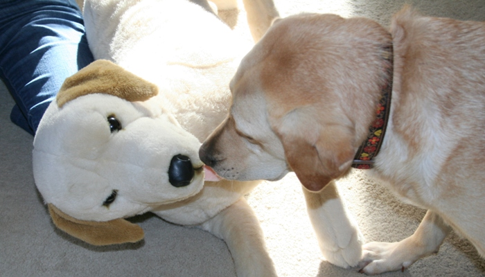 cabana leans her head down to be nose to nose with the toy, looks like she's giving it a kiss