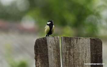 Photo: Great tit (Parus major): the chickadee equivalent of Russia