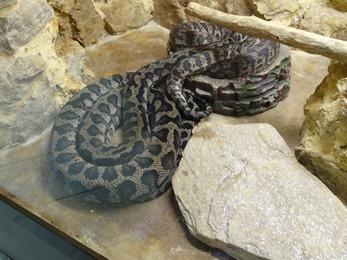 2017.08.07-037 python tapis du Norf