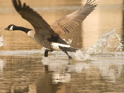 The way geese run on and push of the water to take of is fascinating.