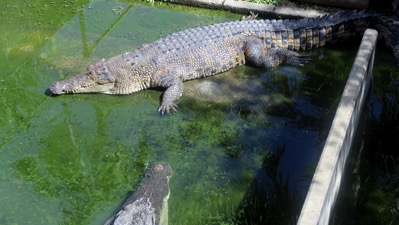 Big Crocodile