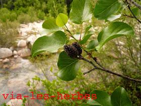 Aulne à feuilles en cœur, Alnus cordata, Betulacees 2.jpg