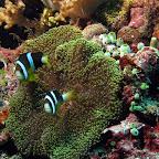 Anemone fish (Bangka Island)