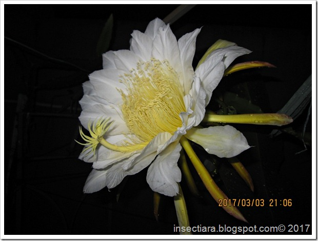 Cantiknya bunga buah naga 2