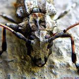 Lamiinae : Acanthoderini : Steirastoma sp. Peut-être S. marmoratum (THUNBERG, 1822). Pitangui (MG, Brésil), 21 septembre 2013. Photo : Nicodemos Rosa
