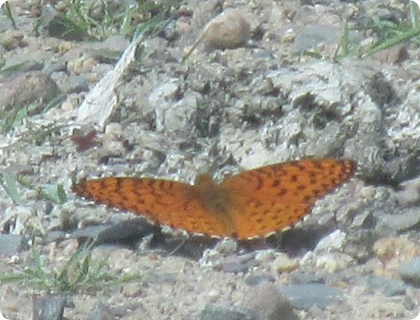 IMG_7568 Aphrodite Fritillary Speyeria aphrodite Butterfly