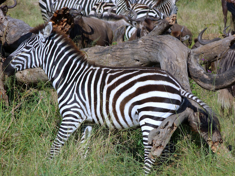 #wildlifesafaritanzania #Travelbloggerindia #Travelblog #Tanzaniatravelblog #tanzaniatourism #Tanzaniawildlifespotting #wildlifesafariafrica #Ngorongoroconservationarea #zebra