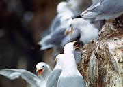 1977 г. Шум на птичьих базарах сравним с шумом реактивного двигателя...
