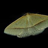 Geometridae : Oenochrominae : Epidesmia tryxaria GUÉNÉE, 1857. Umina Beach (NSW, Australie), 2 novembre 2011. Photo : Barbara Kedzierski