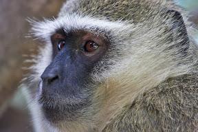 Vervet Male, Botswana