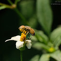 Eristalinus quinquelineatus 黑跗斑眼蚜蠅