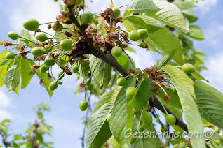 dallardaki yeşil kirazlar, Stella Polonezköy
