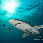 oceanic blacktip