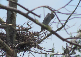 Heron Colony at Libby Hill-013.JPG