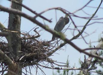 Heron Colony at Libby Hill-013.JPG